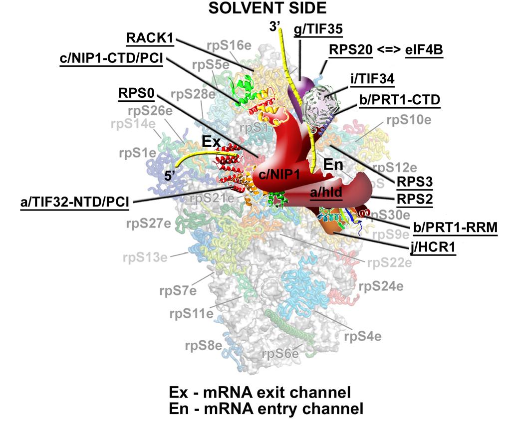 translační iniciační faktor 3 (eIF3) na 40S ribozomu