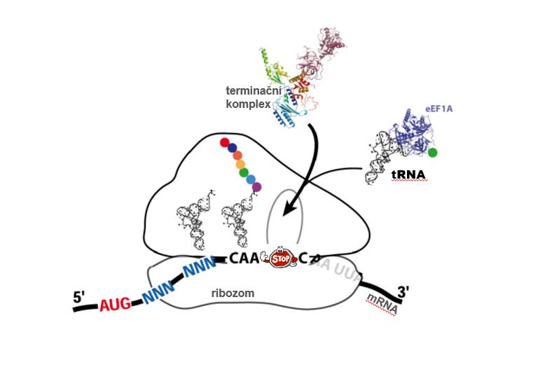 tRNA versus terminační komplex